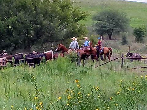 Cattle drive with cowboys on horseback