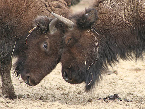 Two bison head-butting