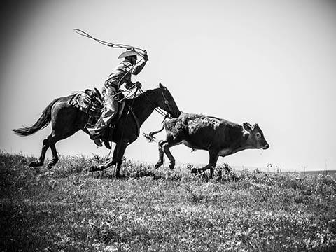 Cowboy on horseback roping cattle