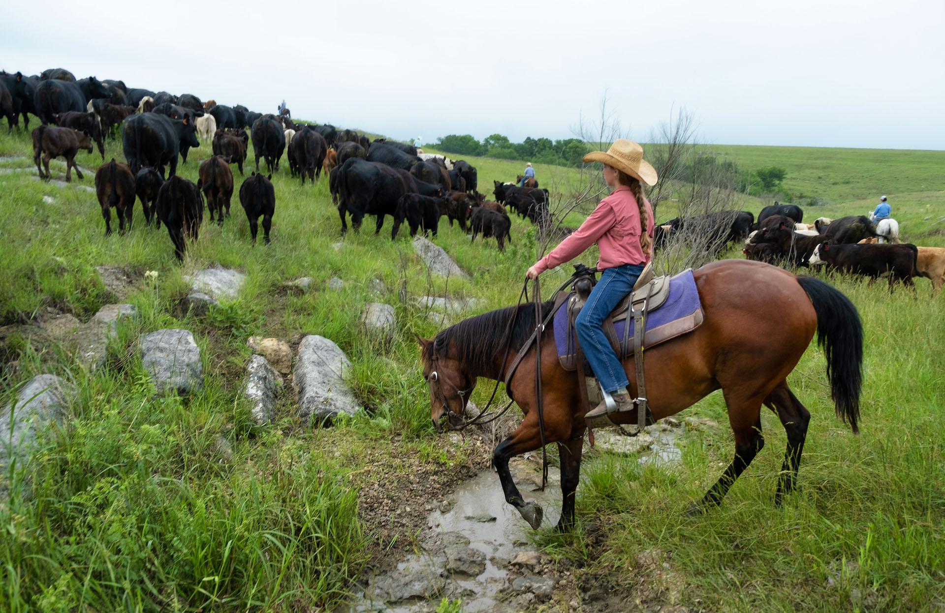 Cattle drive at the Sauble Ranch